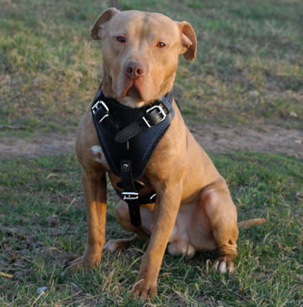 handmade leather dog harness