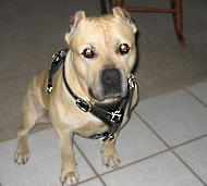 Walking Pitbull/Amstaff Harness - Leather Dog Harness
