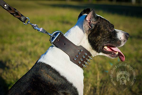 Pitbull collar made of genuine leather