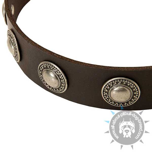 Leather Pitbull Collar with Nickel Plated Circles