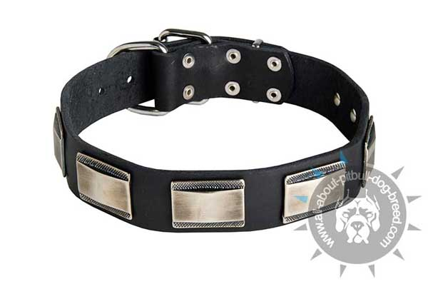Leather Pitbull Collar with Decorative Nickel Plates