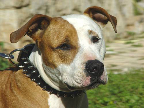 Spiked Nylon Pitbull Collar Decorated in 2 Rows