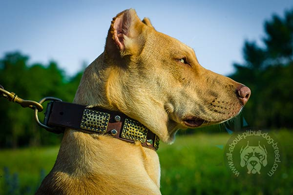 Studded Pitbull leather collar for stylish look