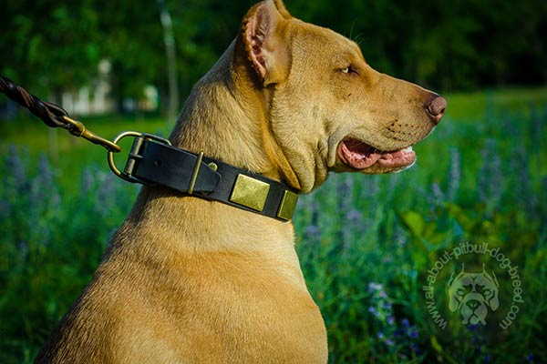 Handcrafted leather Pitbull collar