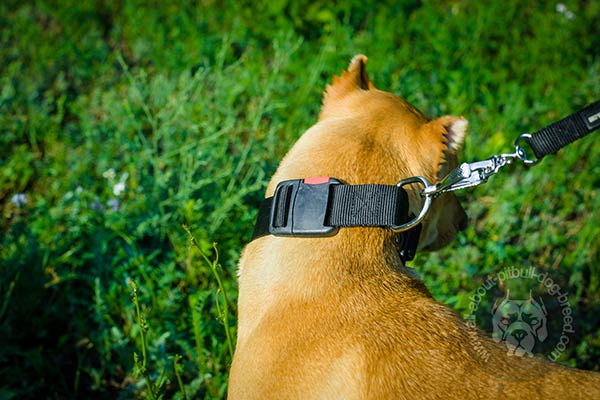 Pitbull nylon collar with nickel plated hardware