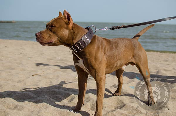 Wide Pitbull leather collar