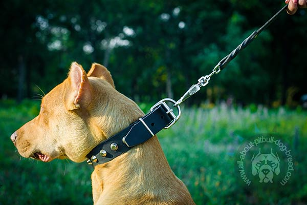 Pitbull collar with sturdy buckle