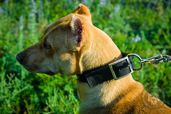 Pitbull nylon collar with corrosion resistant nickel plated fittings for walking