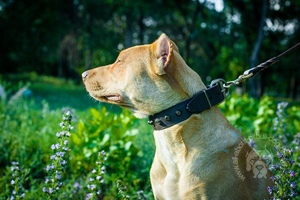 Strong Pitbull leather collar