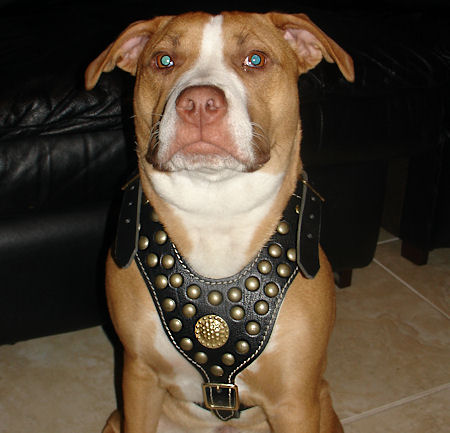Fashion Studded Training Leather Pitbull Harness