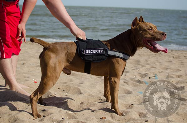 Fast grabbing nylon Pitbull harness