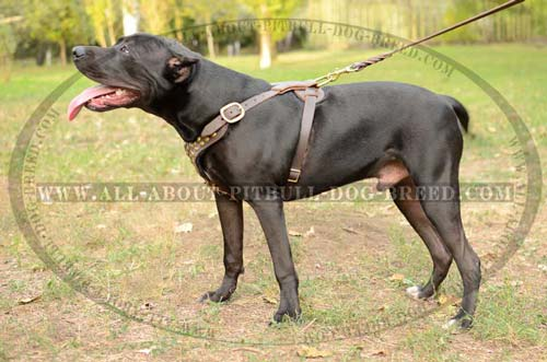 Distinguished Leather Dog Harness