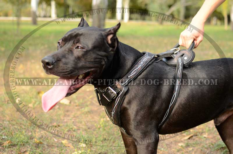 Rare Pitbull Breeds Decorated leather dog harness