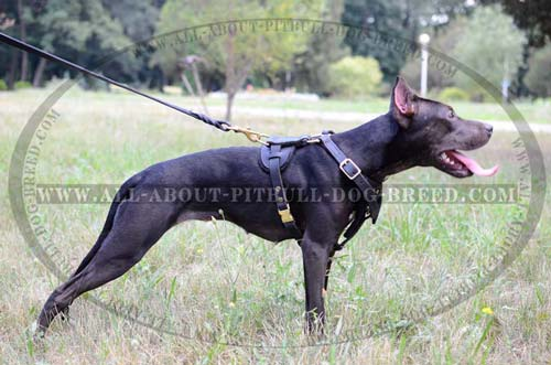 Lifetime Leather Dog Harness