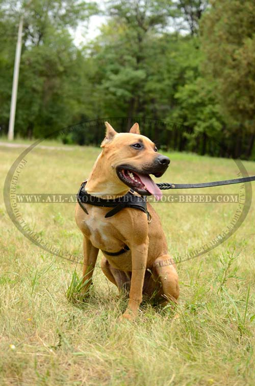 Strong Leather Dog Harness for American Pitbull Terrier