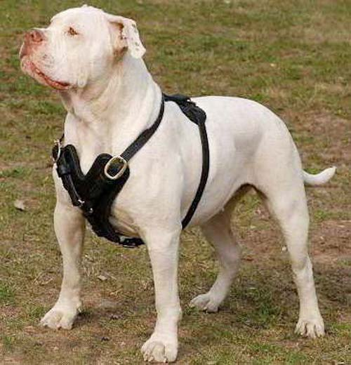 Exclusive Luxury Handcrafted Padded Leather Dog Harness