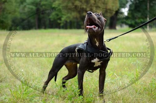 Leather Pitbull Harness Meant for Successful Tracking Work