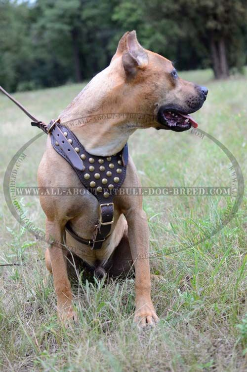 Leather Dog Harness with Studded Chest Plate for Pitbull