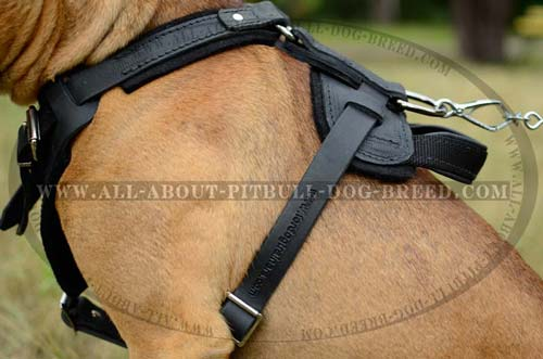 Leather Pitbull Harness Made in Accordance with the Breed's Anatomy