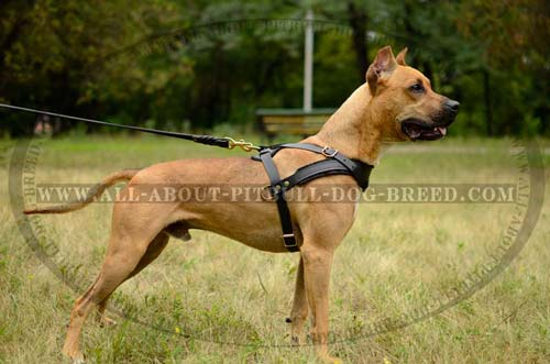 American Pitbull Terrier Harness Leather Custom Made for Comfort and Safety