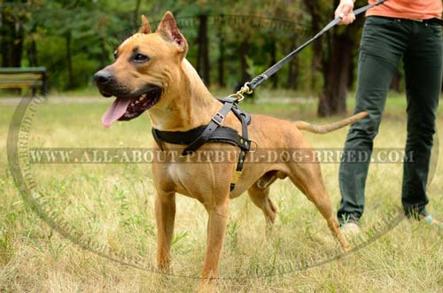 Well-Designed Leather Dog Harness for Controlling American Pitbull Terrier