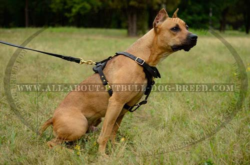 Pitbull Harness Leather Meant for Optimal Control Over Large Canine