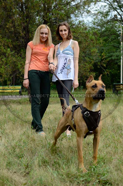 Leather American Pitbull Harness Reliable for Regular Outings with Your Pet