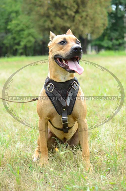 Everyday Leather Dog Harness for Pitbull's Safety