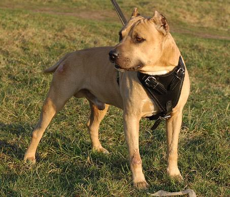 Agitation/Protection Leather Dog Harness for Pitbull