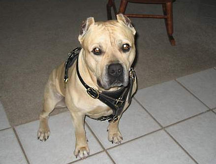 Walking Pitbull/Amstaff Harness - Leather Dog Harness - Click Image to Close