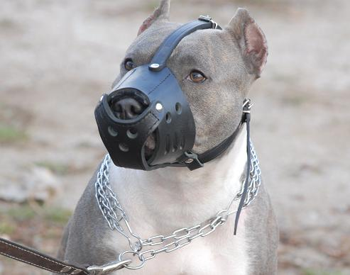Everyday Pit bull Leather muzzle-Dog Muzzle for Pitbull Terrier