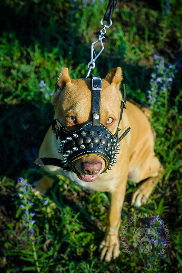 Spiky leather muzzle to stop Pitbull barking