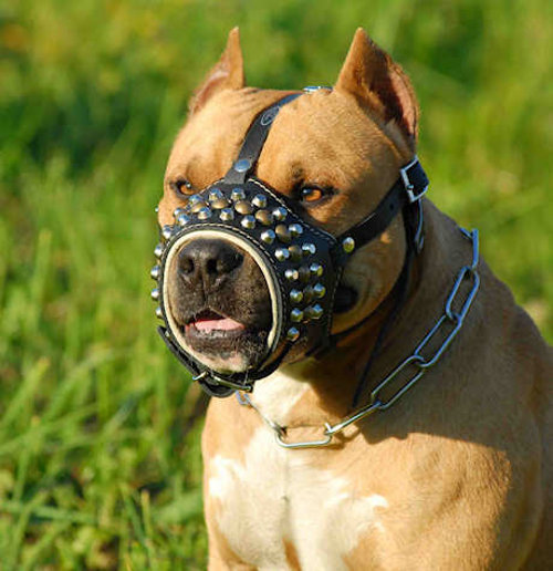 Nicest Pit Bull dog leather muzzle