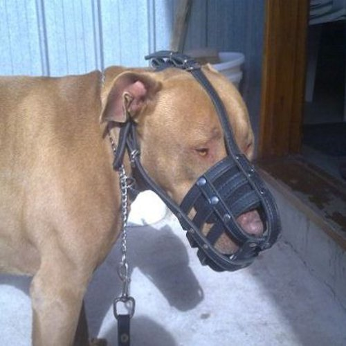 Everyday Leather Cage Dog Muzzle on Pitbull