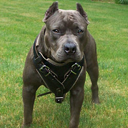 canine pitbull black dog harness