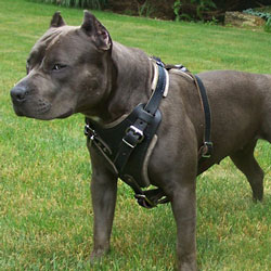 Best Leather Pitbull Dog Harness