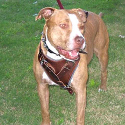 Pitbull leather harnesses