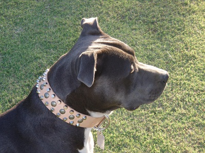 Leather Pitbull Collar for Every Day