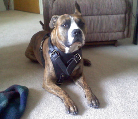 pitbull with harness