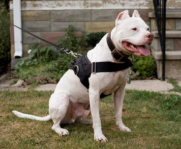 nylon dog harness with handle for pitbulls ,amstaffs,bullterriers